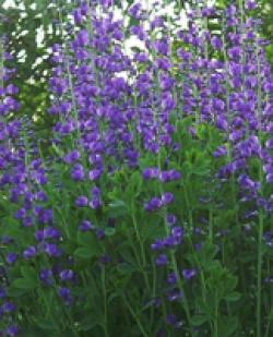 Lythrium, Blutweiderich, violette Kerzen, reichblühende Beet und Teich NR: 1