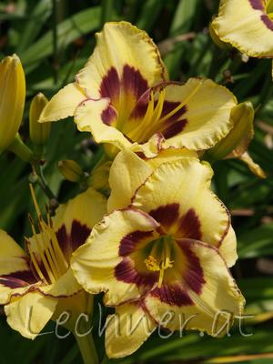 Taglilie (großblumig)